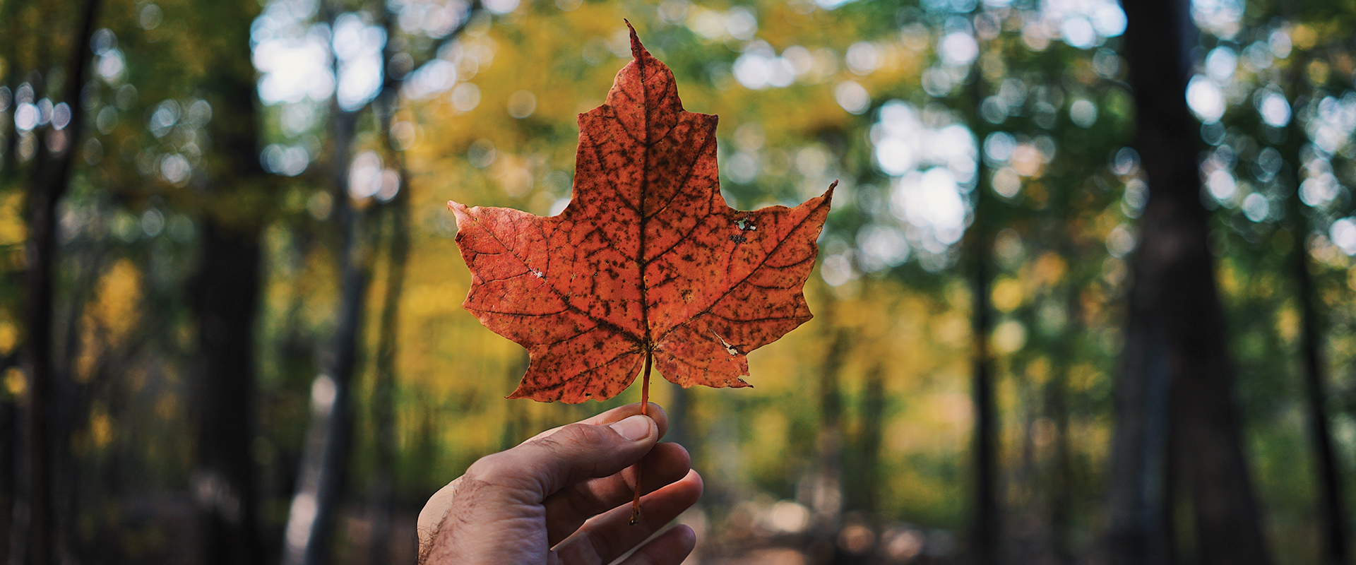 Photo of a hand, holding a maple leaf, in a forest